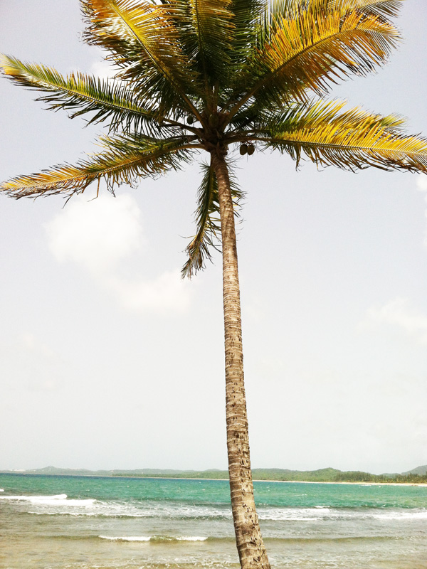 coconut palms1