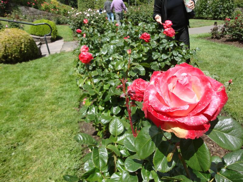 huge roses1