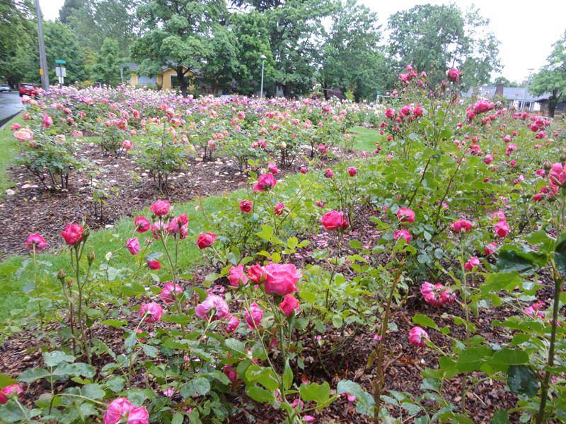 neighborhood rose garden 21